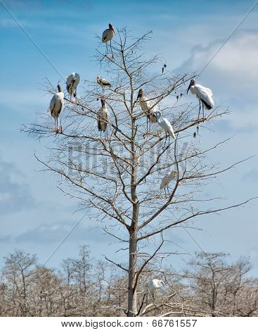 Woodstorks