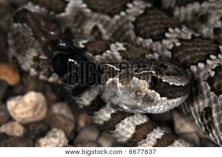 Snake-37