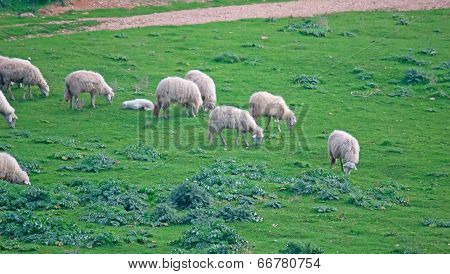 Sheep Grazing In The Green