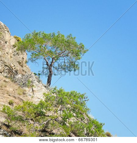 Pine On A Mountainside And Blue Sky