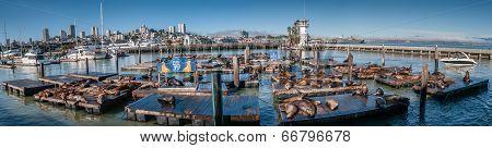 San Francisco, Usa - September 03:sea Lions At Pier 39 Panorama