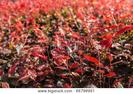 Red Leaves In Backlight