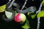 stock photo of garden snake  - Snake in the garden - JPG
