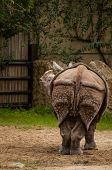 Постер, плакат: Indian One horned Rhinoceros