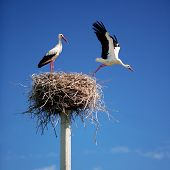 foto of stork  - Storks on a background of blue sky - JPG