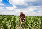 stock photo of hoe  - Old man with a hoe weeding in the corn field - JPG