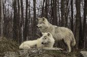 picture of horrific  - An Arctic wolf in a forest - JPG