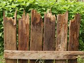 picture of rotten  - Fragment of fence of rotten boards on the background of green plants.
