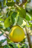 picture of pomelo  - Pomelo fruit on a tree closeup - JPG