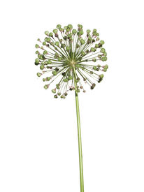 stock photo of defloration  - Withered inflorescence wild garlic isolated on white background. ** Note: Soft Focus at 100%, best at smaller sizes - JPG