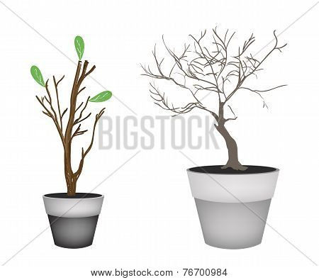 Brown Trees and Tree Buds in Flower Pots