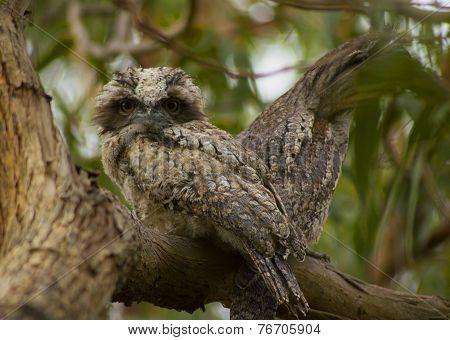 Tawny Frogmouth Birds in Tree