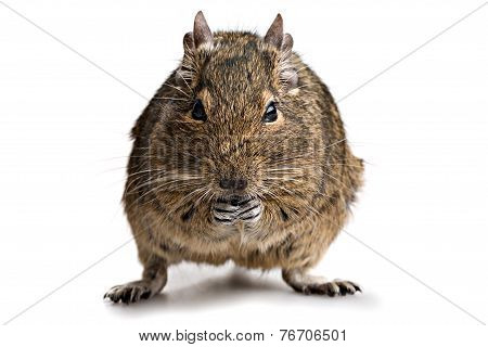 Degu Hamster Pet