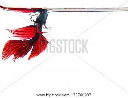 siamese betta fighting fish on white water
