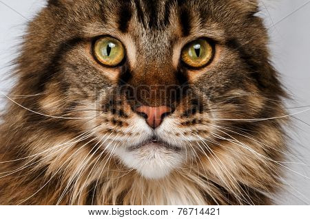 Closeup Maine Coon Cat
