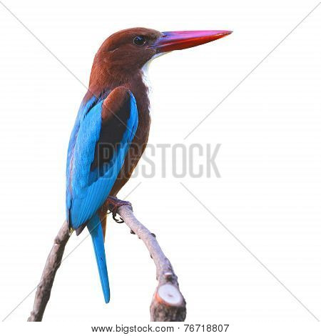 White-throated Kingfisher Bird