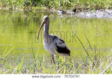 Ibis In The Lake eating incets
