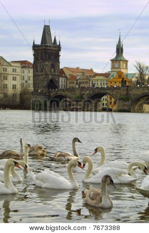 Swans On Vltava River In Prague