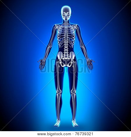 Female Full Skeleton - Anatomy Bones