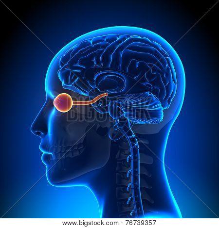 Female Opticla Nerve - Anatomy Brain