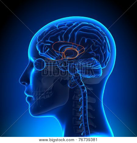 Female Limbic System - Anatomy Brain