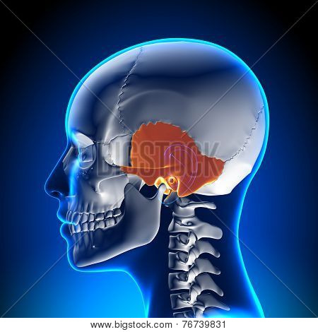 Female Temporal Bone - Skull / Cranium Anatomy