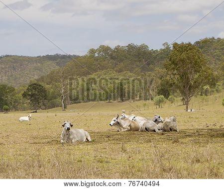 Australian Landscape Cows