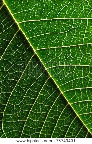 Green Poinsettia Leaf