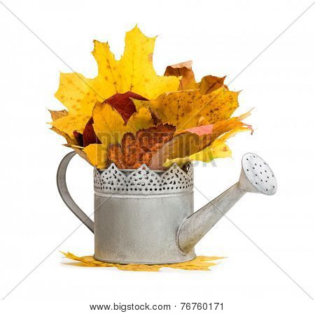watering can full of autumn leaves isolated on white
