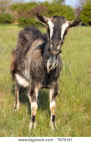 Funny Goat Grasing At Lawn
