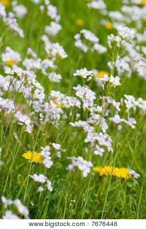 Dandelions And Cuckoo Flowers