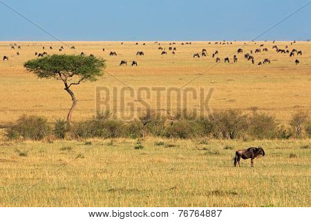 Blue wildebeest (Connochaetes taurinus) and tree, Masai Mara National Reserve, Kenya