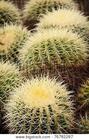 Echinocactus Plants