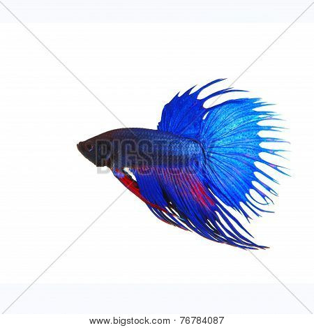 Side View Of Beautiful Blue Crown Tail Siamese Thai Betta Fighting Fish Show Full Form Of Fin And Cr