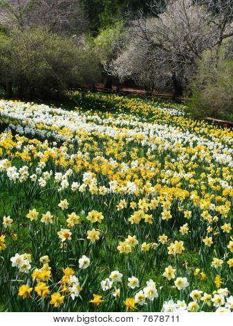 Daffodil Field 1