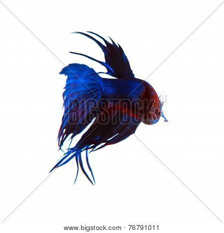Beautiful Blue Crown Tail Siamese Thai Betta Fighting Fish Isolated White Background