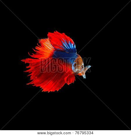 Beautiful  Of  Red Tail Siamese Betta Fighting Fish Isolated On Black Background