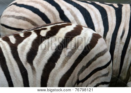 Damara zebras (Equus burchelli antiquorum).