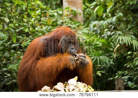 Orangutan name Tom.