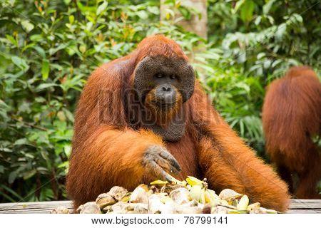 Orangutan eating food.