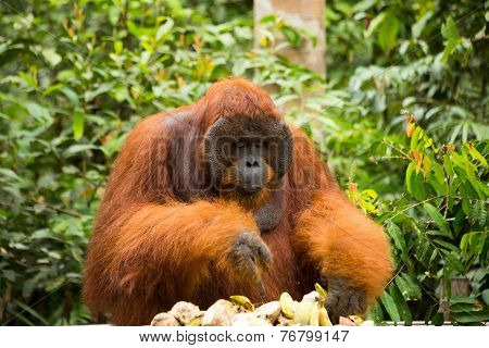 Tom eating food in the jungle of Borneo.