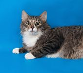 picture of blue tabby  - Fluffy tabby cat teenager lying on blue background  - JPG
