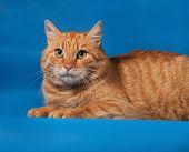 picture of blue tabby  - Ginger tabby cat lying on blue background - JPG
