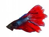 picture of fighter-fish  - thai red betta fighting fish top form isolated white background - JPG