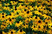 foto of trumpet flower  - Lush flowering yellow trumpet flowers with strong sunshine - JPG