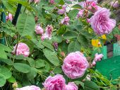 stock photo of climbing roses  - Bright pink roses with fresh green leaves in the garden - JPG