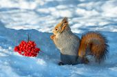 picture of mountain-ash  - Squirrel in the wood about a mountain ash cluster - JPG
