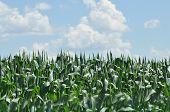 pic of corn  - Field corn - JPG