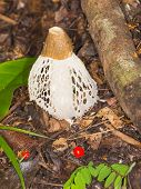 picture of phallus  - beautiful tropical fungus Phallus indusiatus and sit fly with red eyes