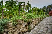 picture of clos  - Clos Montmartre Vineyard in Paris dates back to the 12th century when monks and nuns produced wine here - JPG